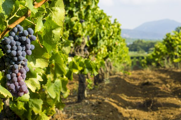 Ophorus Tours - Crus Classés of Provence Wine Tour Private Shore Excursion From Saint Tropez