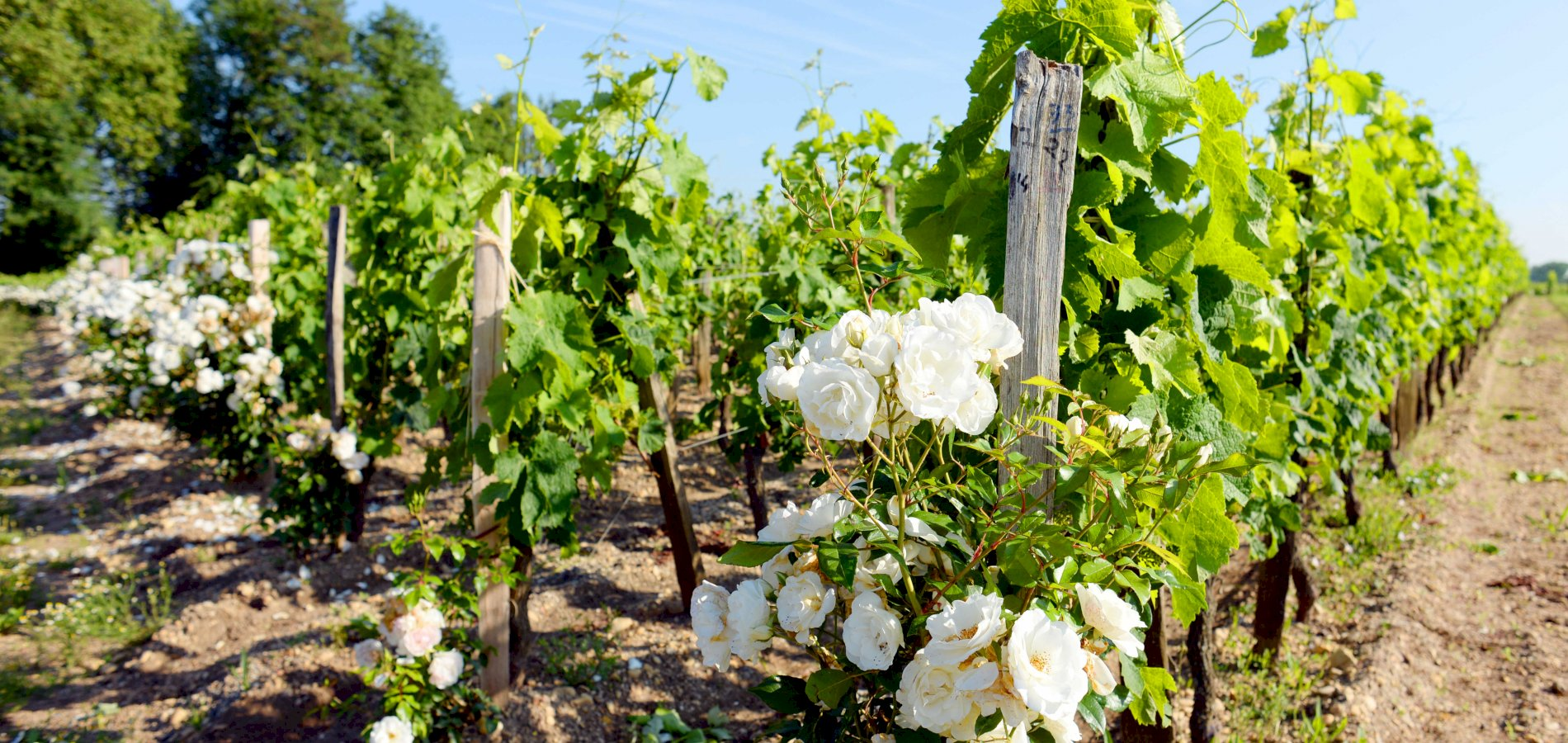 Ophorus Tours - Saint Emilion Wine Tour Private Half Day Trip from Bordeaux for 2 persons