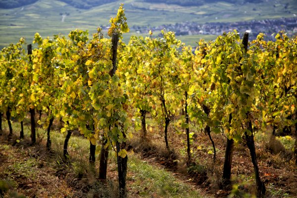 Ophorus Tours - Grands Crus Alsace Wine Tour Private Day Trip From Mulhouse